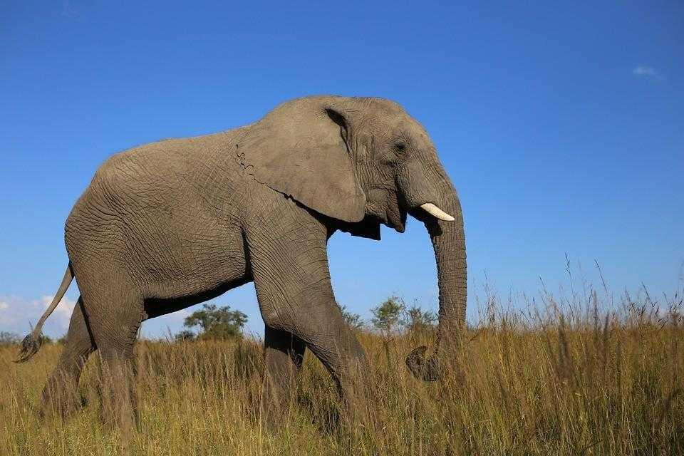 Африка, слон