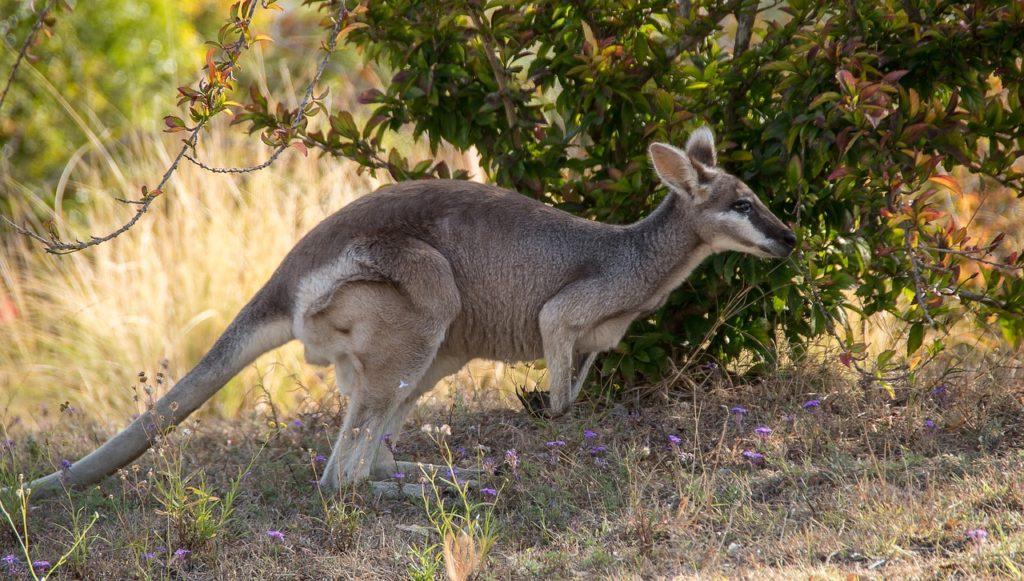 Австралия, животные