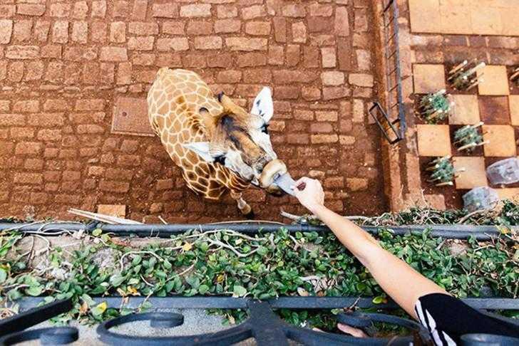 жирафы, отель, кения