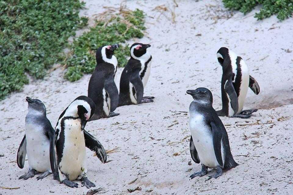 пингвины, кейптаун